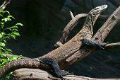 Komodo Dragon Is Heated