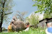 stock photo of chicken-wire  - Chicken in the garden is on the grass - JPG
