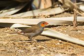 Orange-cheeked Waxbill Looking For Seeds In The Sand