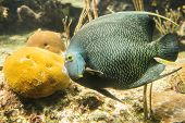 image of angelfish  - Closeup of beautiful French Angelfish in Caribbean sea - JPG