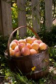 A Basket Full Of Peaches On The Ground - Clipping Path