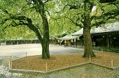 pic of camphor  - two camphor trees close to the Japanese temple by rainy weather - JPG