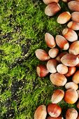 Hazelnuts  on green grass background
