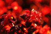 Blooming bush, close-up
