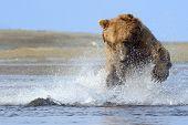 Grizzly Bear splashing