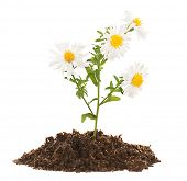 Flowers growing from soil isolated on white