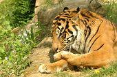 Tigre lamber sua pata.