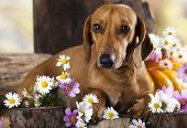 red dachshund and flowers
