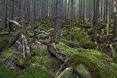 stock photo of irish moss  - Mysterious beautiful pinewood forest with mossy stones - JPG