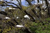 Great Egrets Nesting In Tree