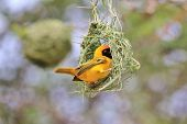 Southern Masked Weaver - Wild Bird Background - New Nest, New Home