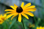 stock photo of black eyes  - Black Eyed Susan standing proudly in a summer garden