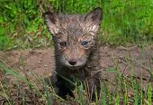 Red Fox Kit (vulpes Vulpes) Looks Out