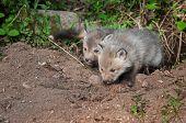 Red Fox Kits (vulpes Vulpes) Crawl Out Of Den