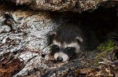 Baby Raccoons (procyon Lotor) Lies Inside Log