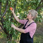 Agriculture, Female Farmer In Apricot Orchard