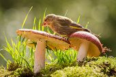 image of toadstools  - green finch is standing on a toadstool - JPG