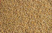 Boiled Wheat Grain