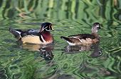 Pair Of Wood Ducks Swimming In A Pond