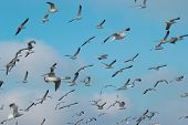 image of flock seagulls  - Flock of seagulls flying above the sea - JPG