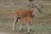 picture of veld  - A baby kudu nursing on his mother - JPG