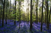 picture of harebell  - Beautiful morning in fresh Spring bluebell forest - JPG