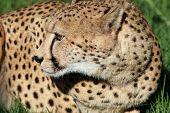 Постер, плакат: Cheetah