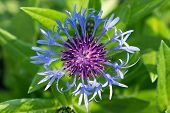 stock photo of angiosperms  - Blue cornflowers are growing at the edge of a corn field - JPG