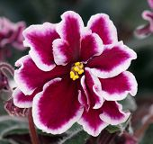 pic of angiosperms  - Beautiful claret with white violet flower over leaves background - JPG