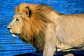 foto of african lion  - African lion crossing a channel in the Delta - JPG