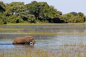 African Elephant Swimming