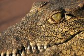 picture of crocodile  - A close up of a crocodiles eye - JPG