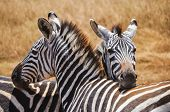 picture of african animals  - Couple of zebras on the African savannah - JPG
