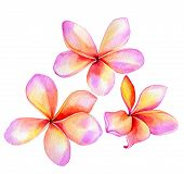 stock photo of frangipani  - watercolor painting of 3 plumeria  - JPG