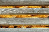 foto of corn cob close-up  - Old corn cob in stack - JPG