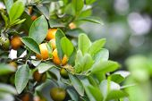 picture of tangerine-tree  - ripening fruit mandarin tree on a tree branch - JPG