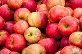 pic of cameos  - Apples fill a bin at an orchard market at harvest time - JPG