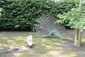 foto of peahen  - Peacock    peacock and peahen performing a ritual mating dance - JPG