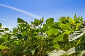 picture of soybeans  - Soybean field against the blue sky - JPG
