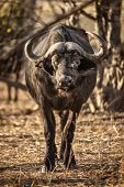 stock photo of dagga  - A buffalo stares down at the camera