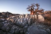 stock photo of baobab  - A large baobab tree on Kubu Ialsnd in Botswana - JPG