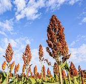 stock photo of sorghum  - Sorghum Field On Blue Sky Background - JPG