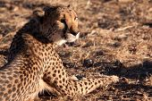 foto of cheetah  - Resting Cheetah waits during the heat of the day  - JPG