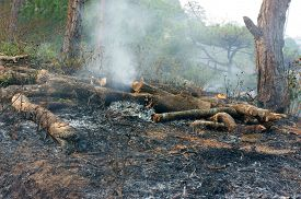 pic of unsafe  - Ash from burn dry grass in pine forest with this careless make many forest fire especial in hot season branch of tree were cut damage ecology cause change climate unsafe for environment - JPG