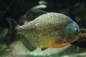 stock photo of piranha  - Red - JPG