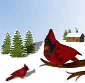 picture of cardinals  - Pair of red Northern Cardinals - JPG