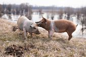 picture of pig-breeding  - Two young mangulitsa furry pigs having fun on the field - JPG