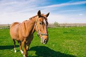 picture of brown horse  - Brown domestic horse on the field selective focus copy space - JPG