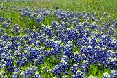 image of bluebonnets  - Up close and personal with some bluebonnets - JPG