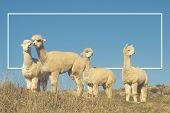 image of lamas  - Alpaca Lama Shaggy Field Mountain Animals Concept - JPG